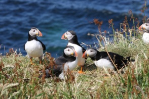atlantic-puffins-by-bill-boothe-md-in-the-isle-of-mull